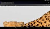 cheetahs skin