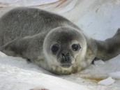 Baby Wedell seal