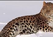 What is an Amur Leopard?