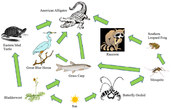 Food Web in the Florida Everglades