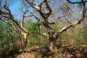 Dry Tropical Seasonal Forest Trees