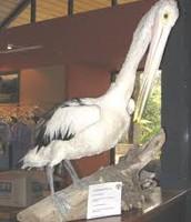 Meet 'Pete' the pelican