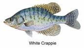 White Crappie