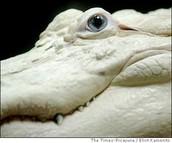 Rare Albino Alligator with sapphire eyes