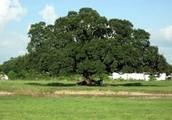 Live Oak By: Iram