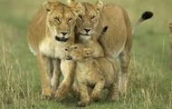 Mother lioness protecting her cubs