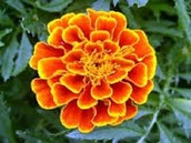 This is a Marigold.