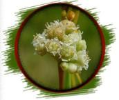 Muira Pauma Bark Extract (PTYCHOPETALUM OLACOIDES)