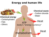 How the Body Uses Energy