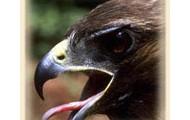 eagle yawning
