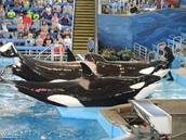 Orcas being raped at sea world