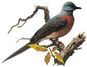 What is the Passenger Pigeon?