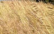Flinders grass