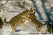 Red Wolves Fighting