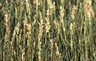 Spike Grass (Distichlis spicata)
