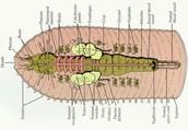 Labeled Internal Veiw of Earthworm