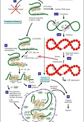 Infection Cycle