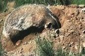 Animal Digging