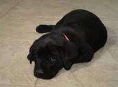 What Is A Labrador Retriever