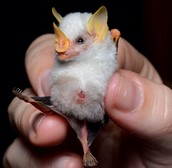 This is a Honduran white bat