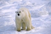 polar bears live on the north pole