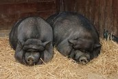 Two Fat Pigs