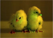 glowing chickens
