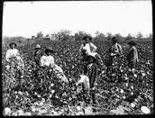 Cotton feilds