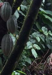 Organic Cocoa Plantations in Costa Rica