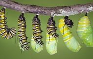 Caterpillar making a pupa