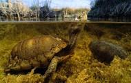 Coahuilan Box Turtle (Terrapene coahuila)