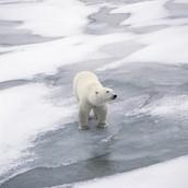 Polar bear at sea