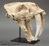 Facts about the Saber Tooth