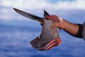 Bull shark fin