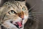 Territorial Cat