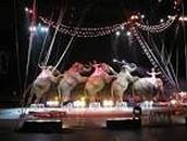 Animal treatment in curcusis.