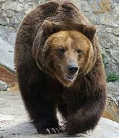 Ussur Brown Bear