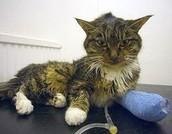 gedrag zieke kat: