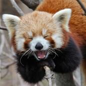 Red Panda yawning