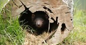 Tasmanian Devil in a makeshift burrow within a hollowed out log
