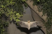 Why are Gray Bats in danger of extinction?