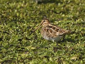Gallinago Gallinago (Common Snipe)