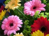 Gerberas daisy (Gerberas)