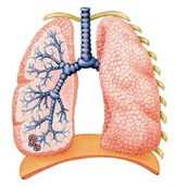 regular lungs