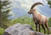 Alpine ibexe
