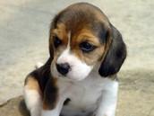 Beagle... again, lol