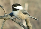 The Blackcapped Chickadee