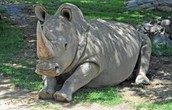 rhino's like to rest in the sun