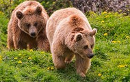 Alaskan Grizzly Bears