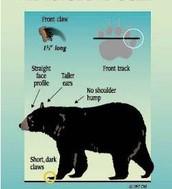 American black bear model